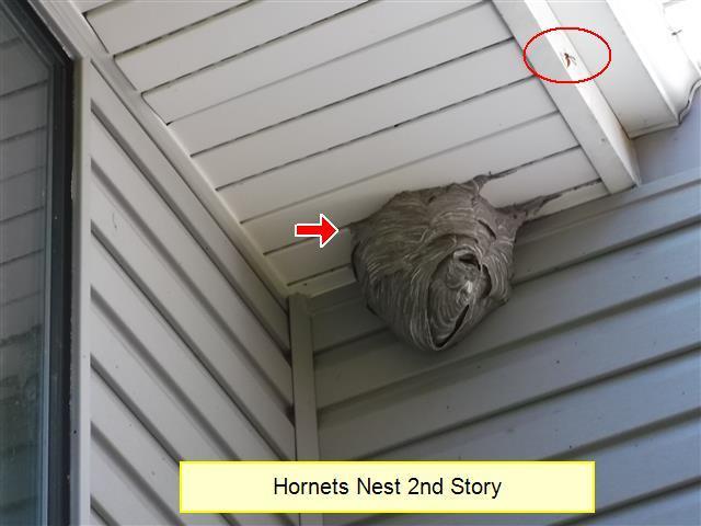 hornetnest1